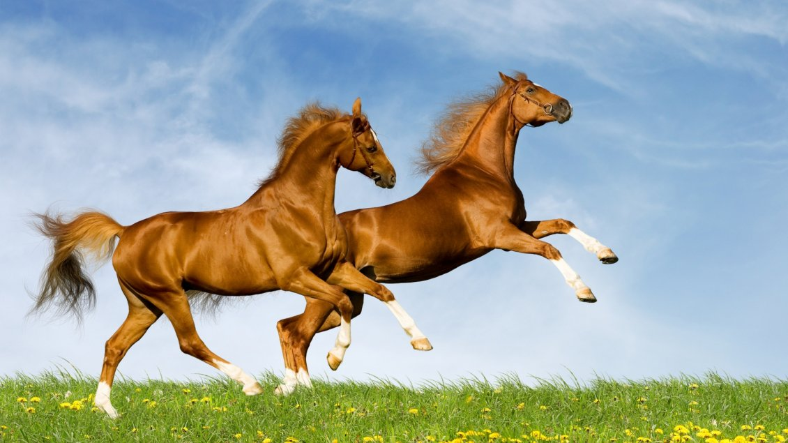 Download Wallpaper Two amazing horses running on the green field