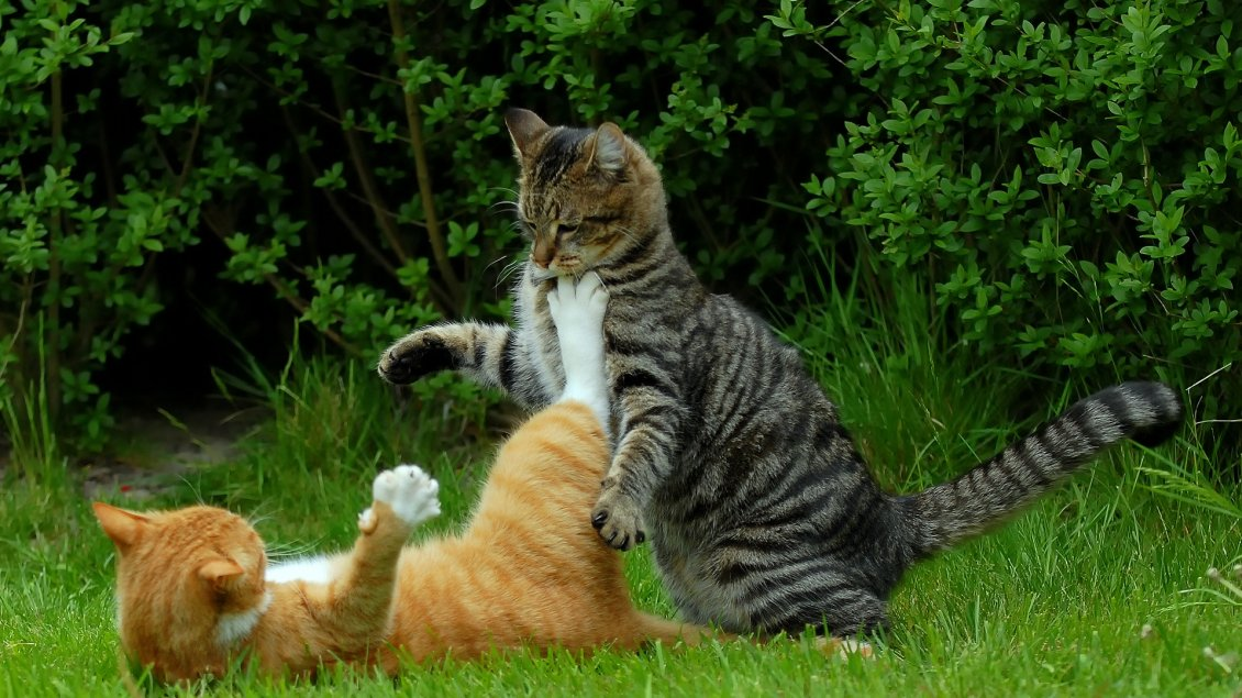 Download Wallpaper Fight between two cats in grass - Animals wallpaper