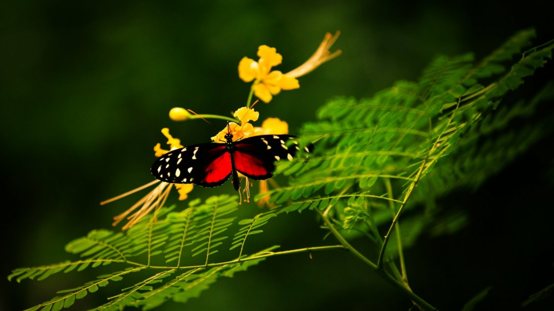 Download Wallpaper Gorgeous black and red butterfly on yellow flowers