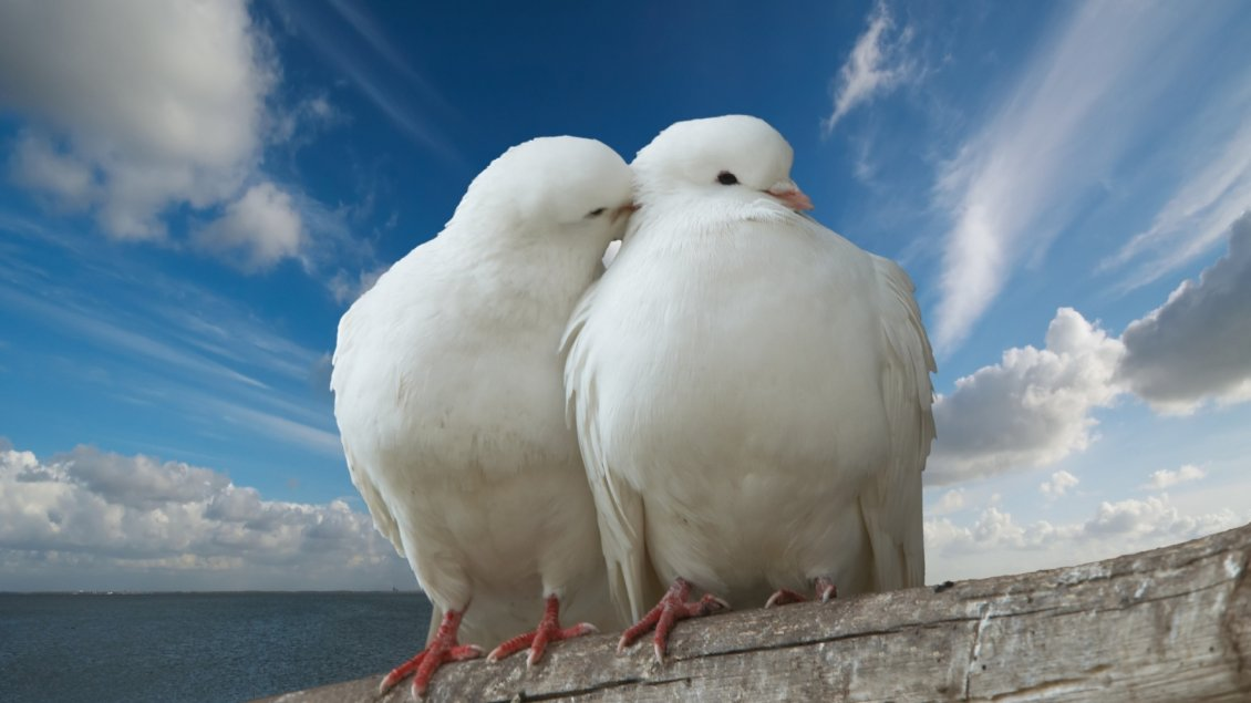 Download Wallpaper Two beautiful white pigeons in love