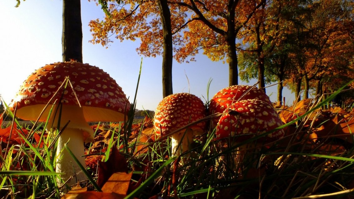 Download Wallpaper Many red mushrooms through trees in forest