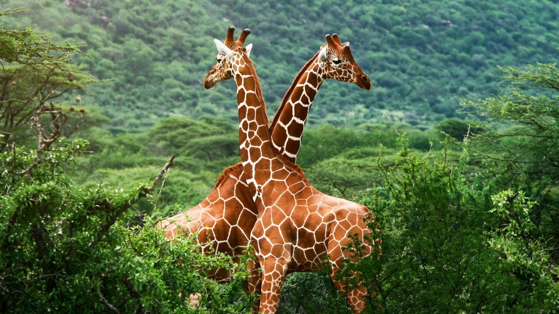 Download Wallpaper Two giraffes in a green forest on mountains