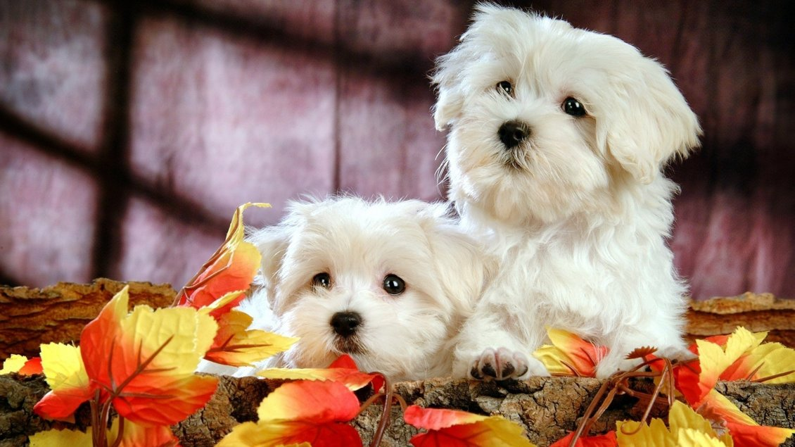Download Wallpaper Two beautiful white Bichon Frize - Sweet dogs