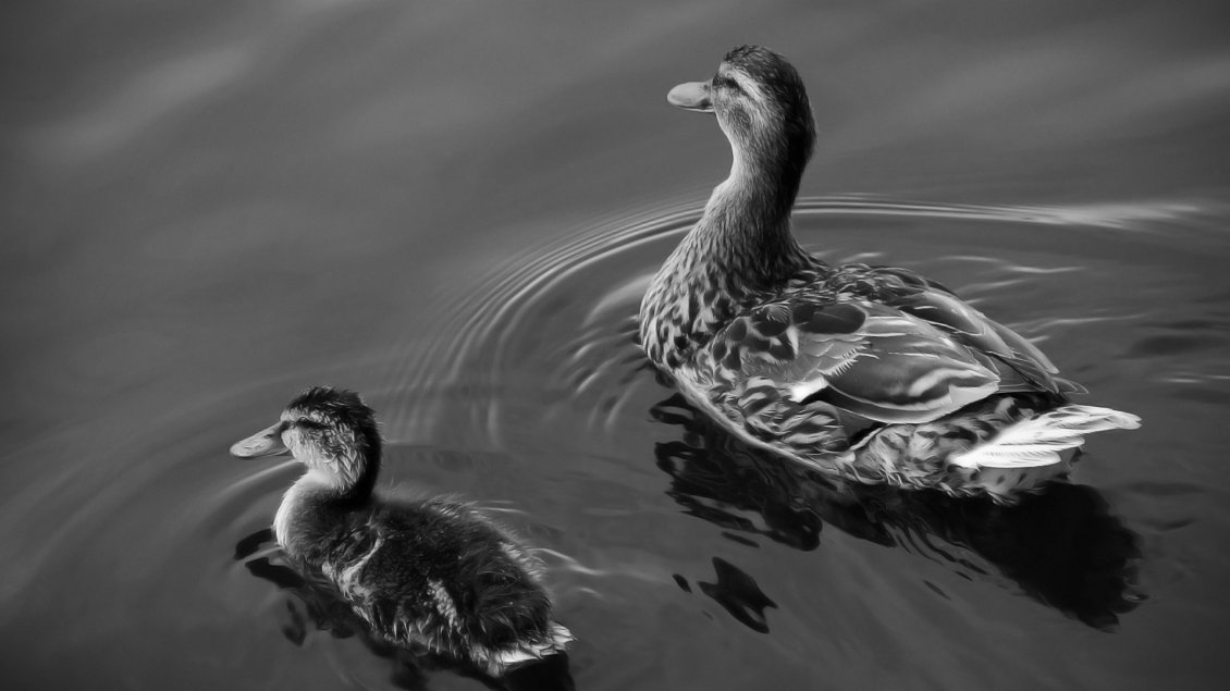 Download Wallpaper Ducks swims on lake - Black and white wallpaper
