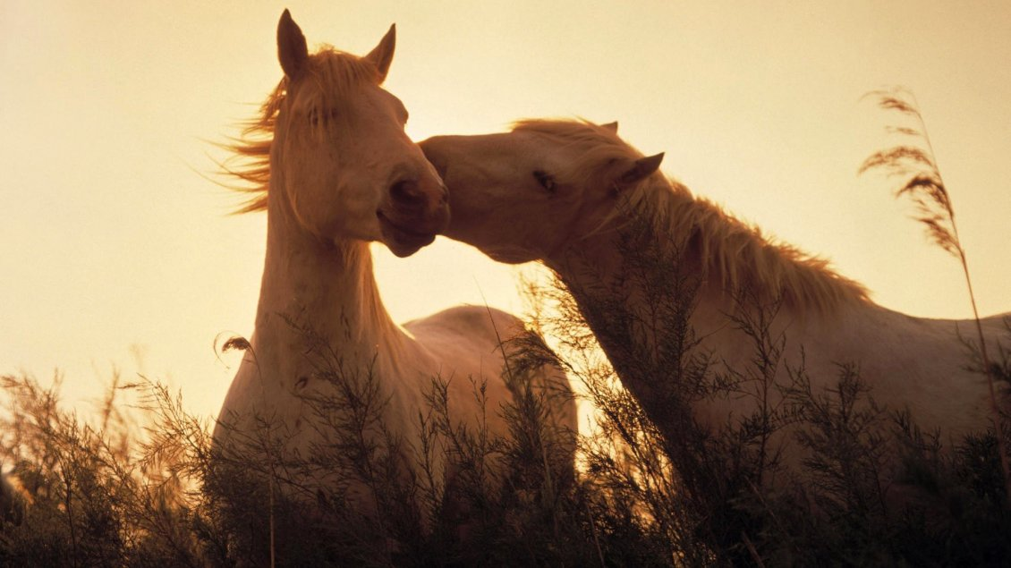Download Wallpaper Two stunning white horses in sunlight