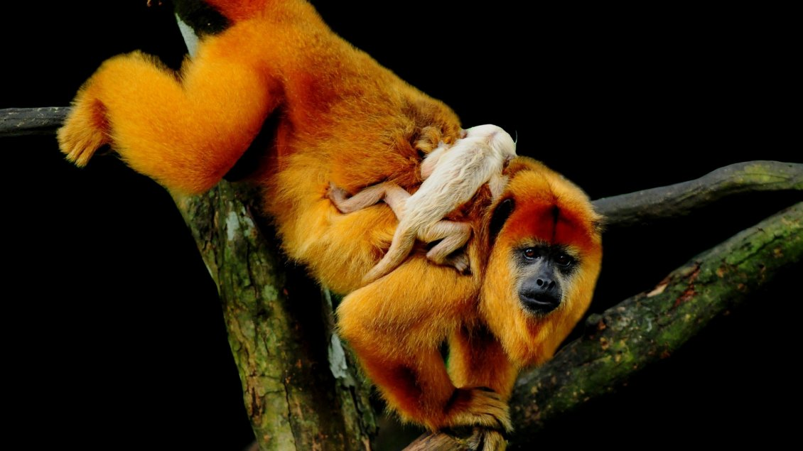 Download Wallpaper Monkeys play through tree branches - Animals wallpaper