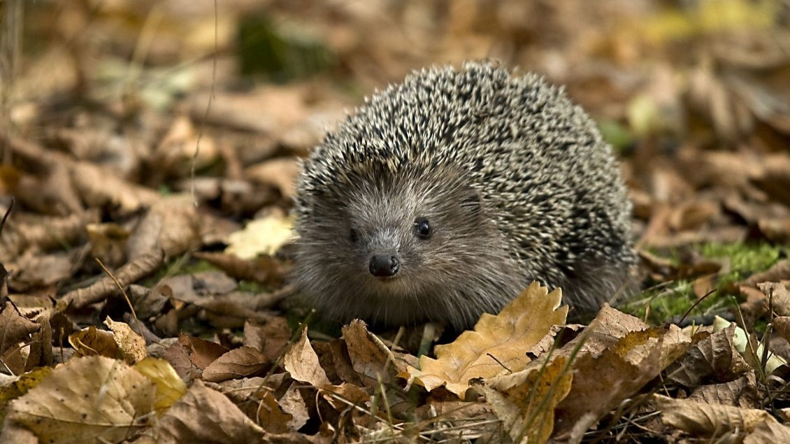 Download Wallpaper Little hedgehog between the dry leaves on grass
