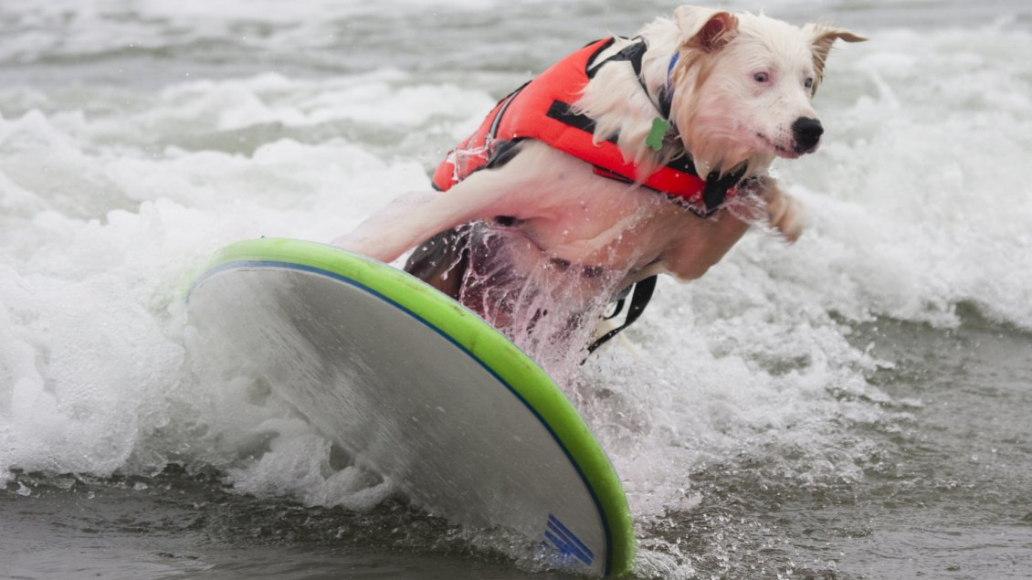 Download Wallpaper A cute white dog with jacket surfing on sea