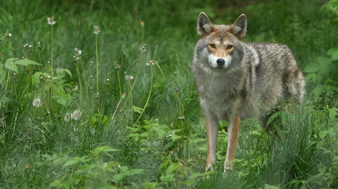 Download Wallpaper Lonely gray and brown wolf in the green grass