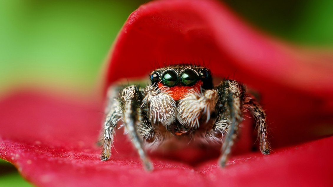 Download Wallpaper Macro spider on a red petal - HD wallpaper