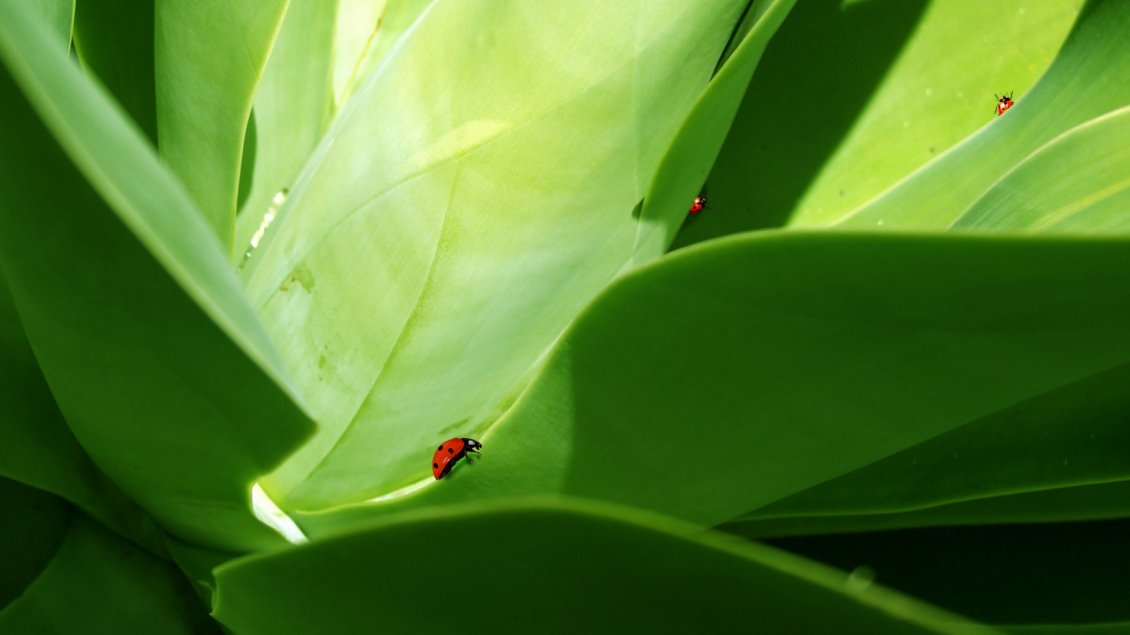 Download Wallpaper Red ladybugs on the big green leaves