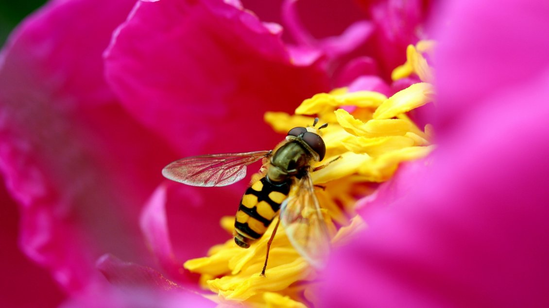 Download Wallpaper Bee collects pollen from a pink flower