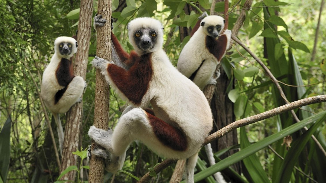 Download Wallpaper White monkeys with brown stains - Great animals in forest