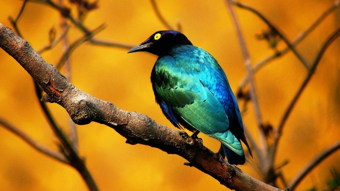 Download Wallpaper Beautiful blue and black bird on a branch
