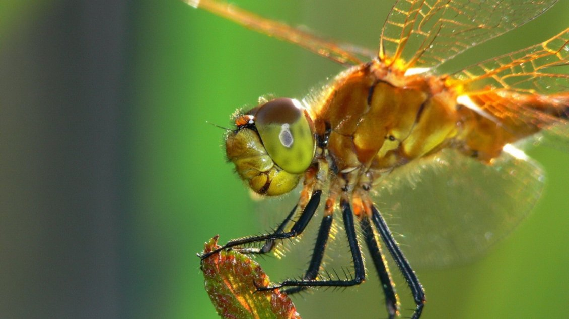 Download Wallpaper An orange dragonfly - Insect wallpaper