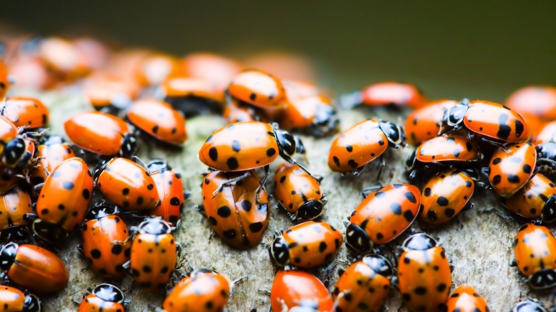 Download Wallpaper A lot of orange ladybugs - Insects wallpaper