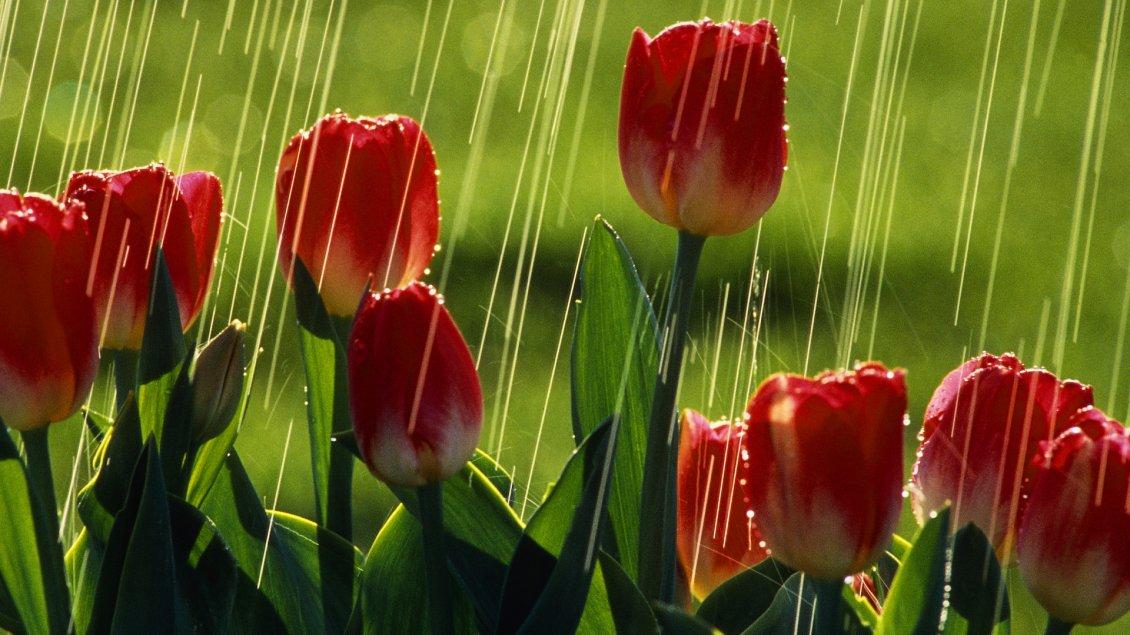 Red tulips under the rain flowers wallpaper altavistaventures Gallery