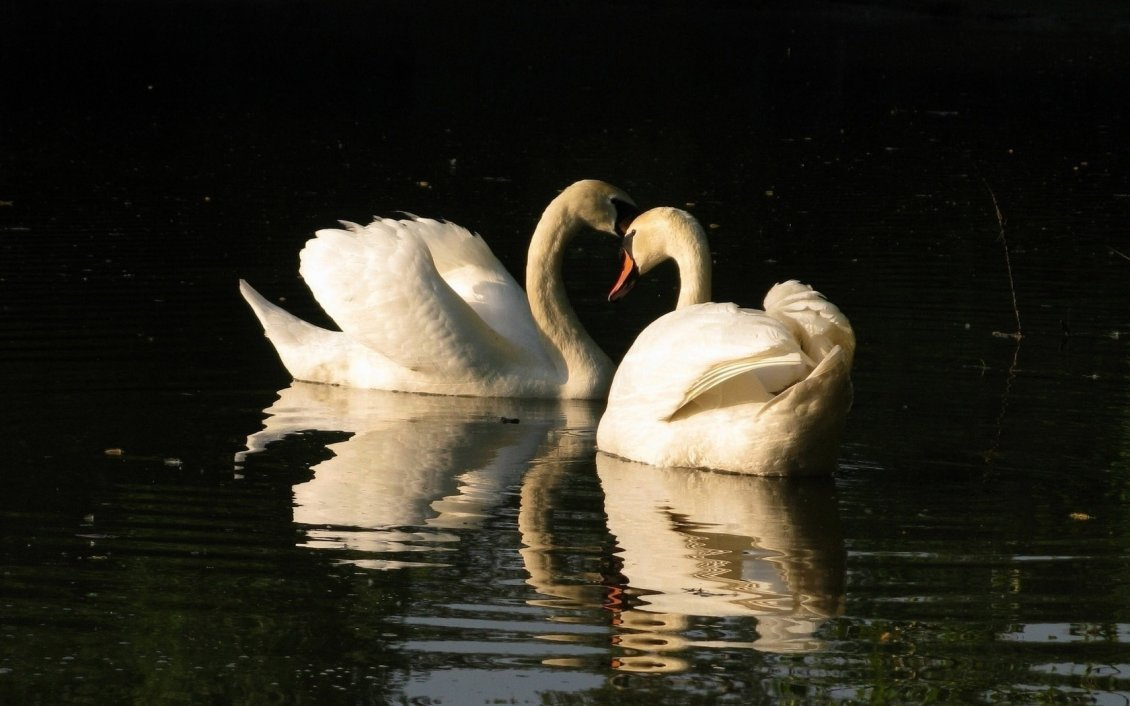 Download Wallpaper Two swans on the lake in the sunlight