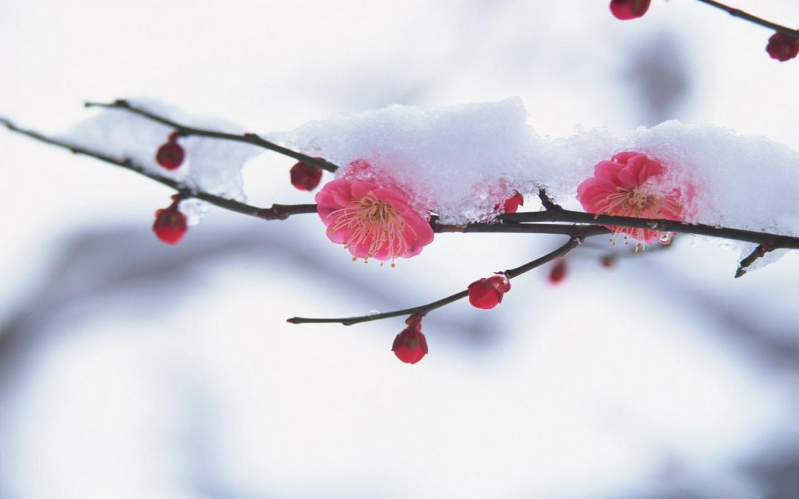 Download Wallpaper Cherry tree blossom in the middle of winter