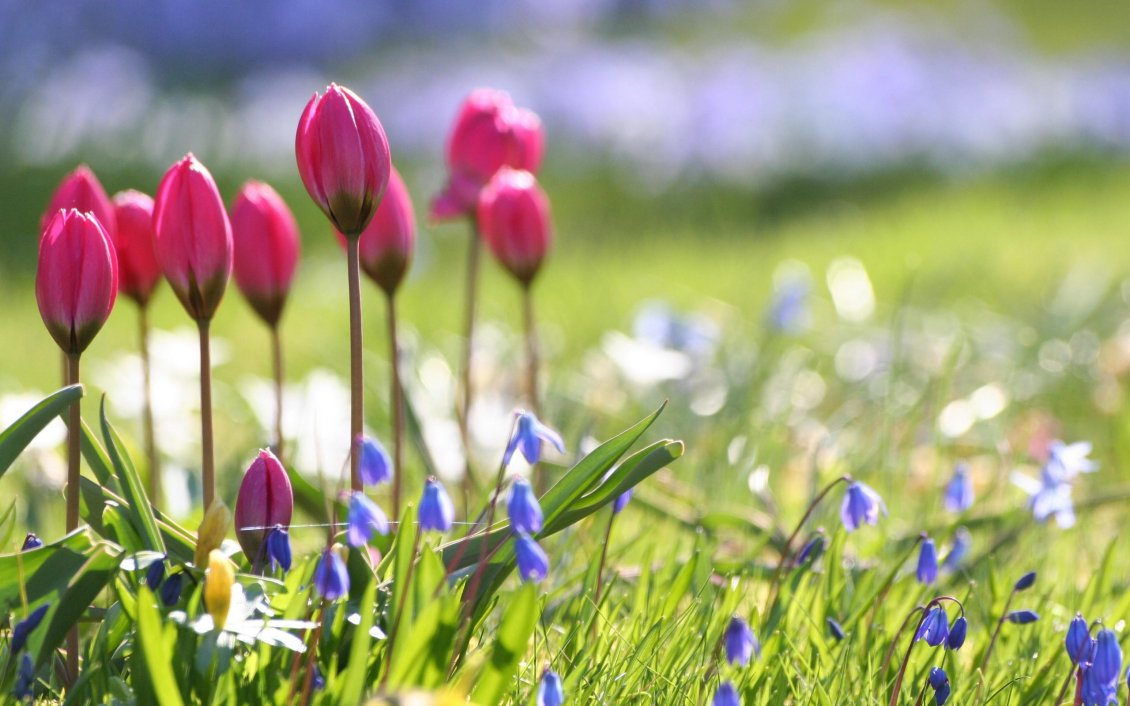 Download Wallpaper Pink tulips on the field full with flowers - Spring season