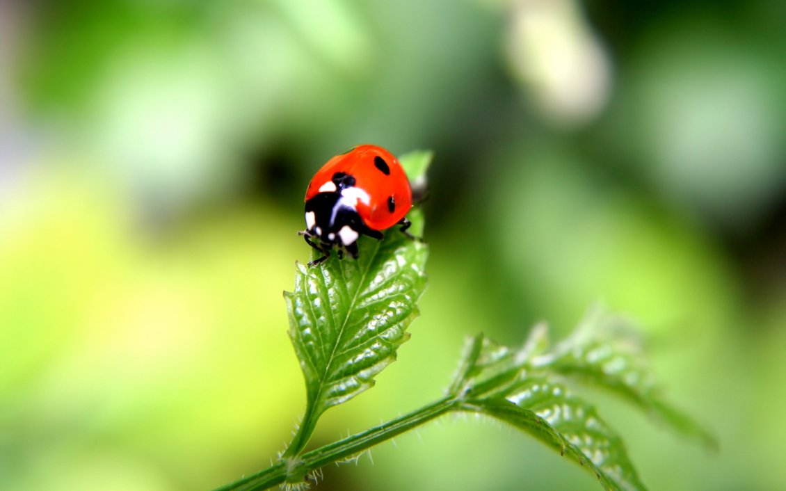 Download Wallpaper Beautiful ladybug on a green plant - HD macro wallpaper