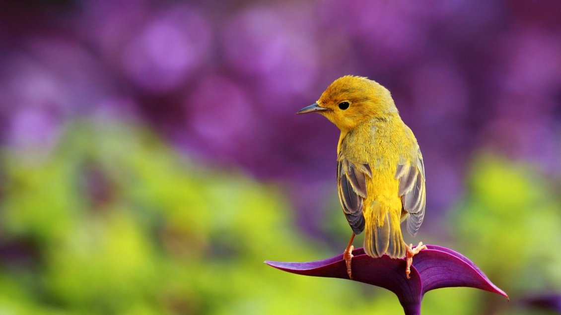 Download Wallpaper Beautiful yellow bird - HD spring wallpaper