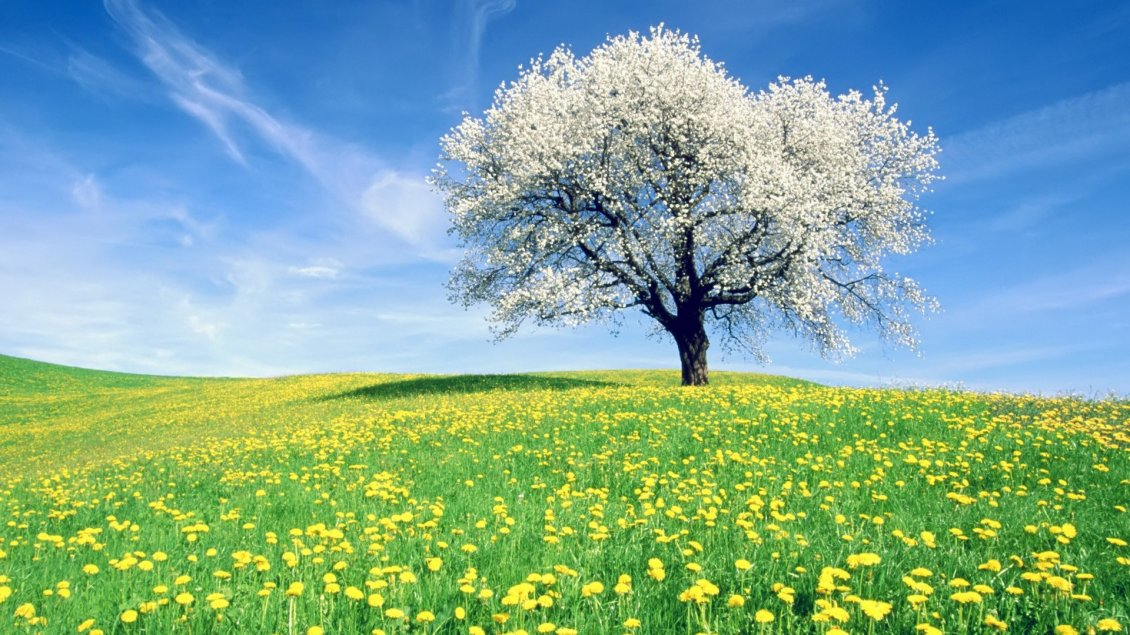Download Wallpaper Field full with dandelion flowers and a blossom tree