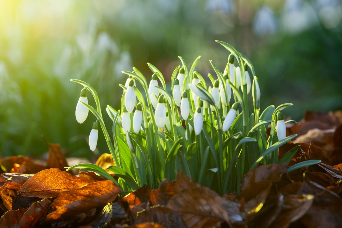 Download Wallpaper Bouquet of snowdrops - good morning spring sunshine