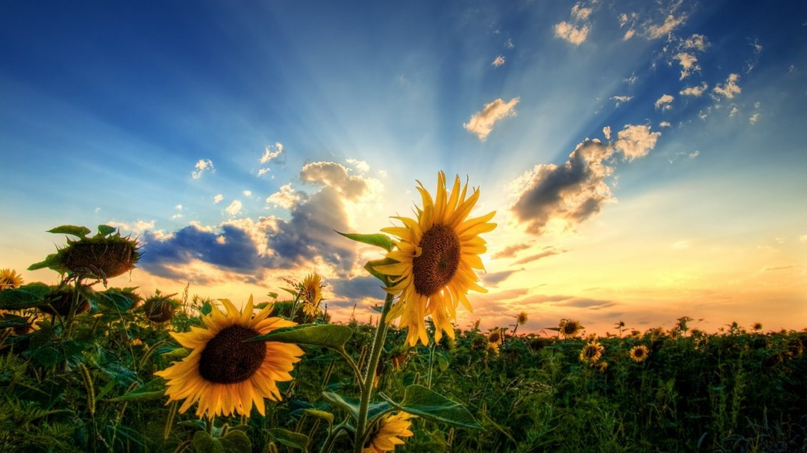 Download Wallpaper Wonderful landscape nature - field with sunflowers
