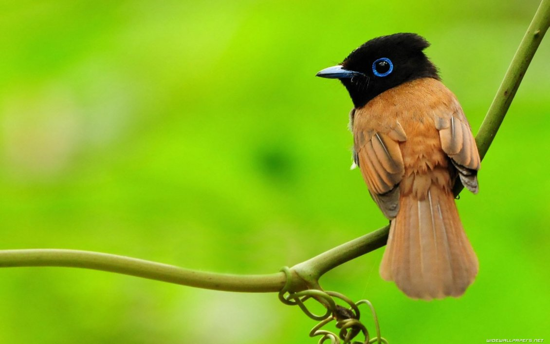Download Wallpaper Beautiful little bird - black and brown color