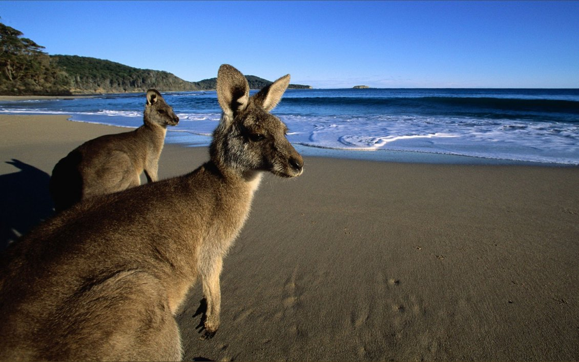 Download Wallpaper Two big kangaroo at the seaside - HD wallpaper