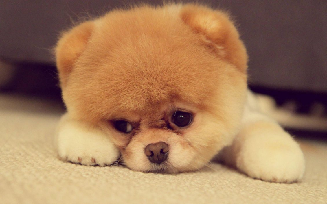 Download Wallpaper Cute dog face - HD fluffy wallpaper