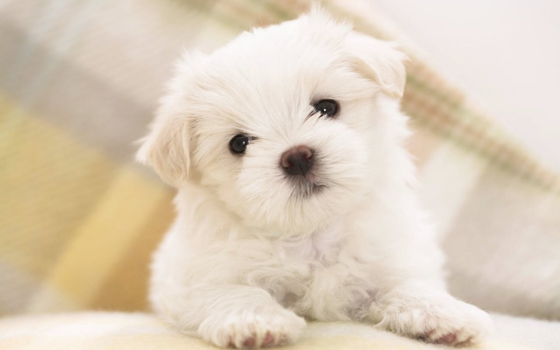 Download Wallpaper Cute litte maltese dog - HD wallpaper
