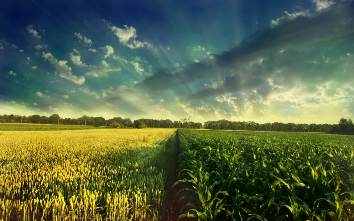Download Wallpaper Wheat and corn field - wonderful nature wallpaper