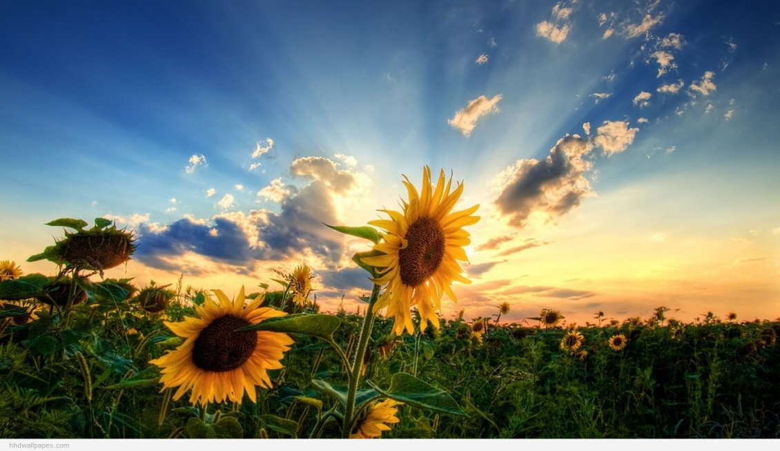 Download Wallpaper Field with sunflowers - beautiful nature flowers