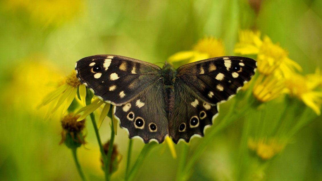 Download Wallpaper Black butterfly on the flowers - HD wallpapers