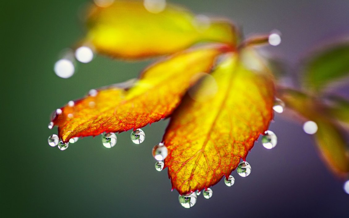 Download Wallpaper Macro water drops on the Autumn leaves - HD wallpaper