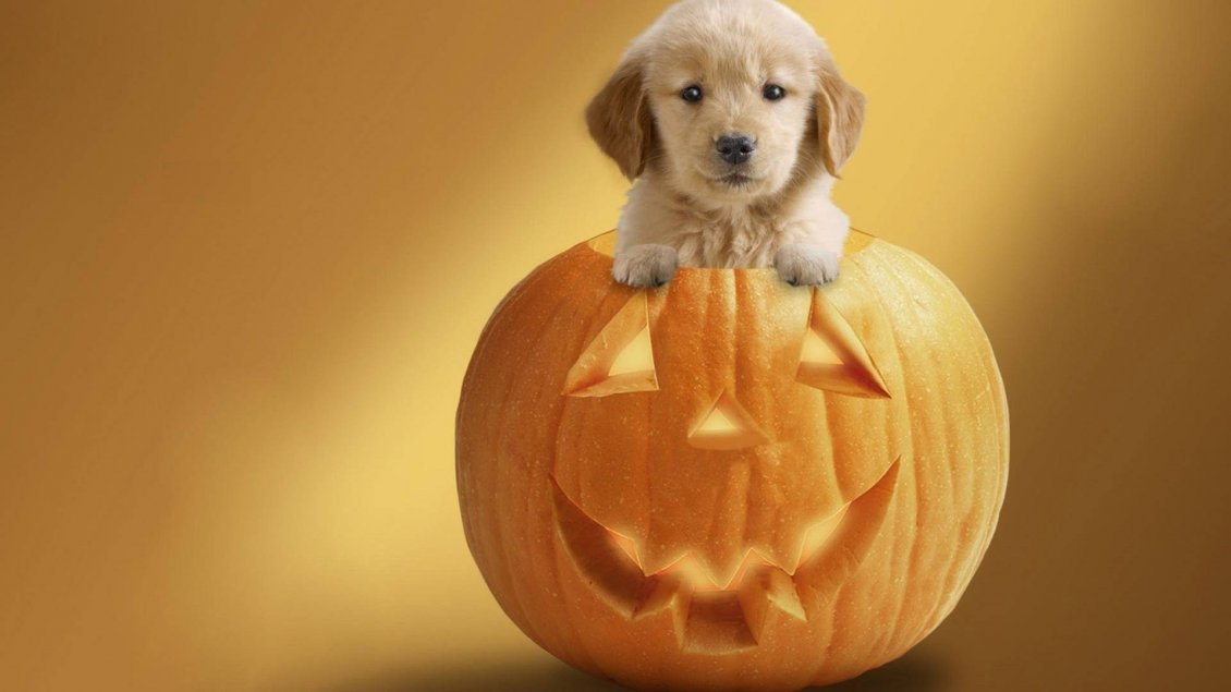 Download Wallpaper Sweet little puppy in a Halloween pumpkin - HD wallpaper