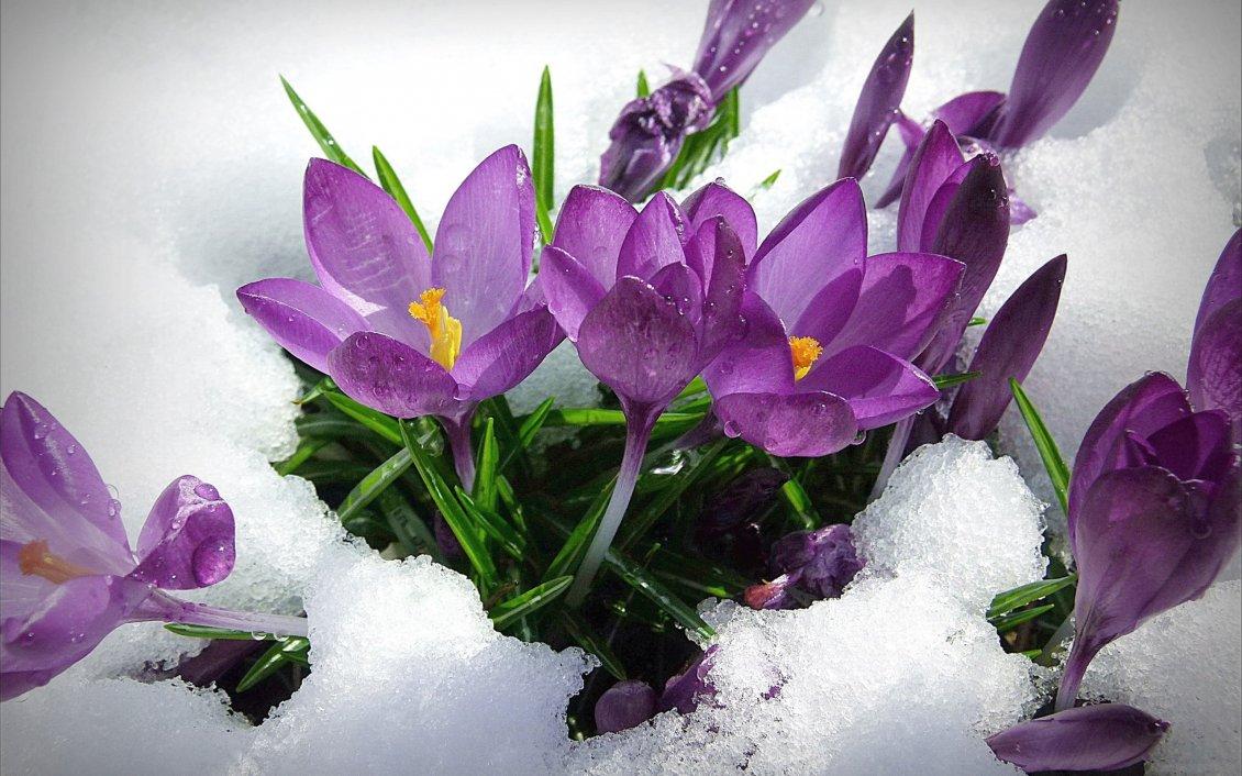 Purple spring flowers in the snow hd wallpaper mightylinksfo