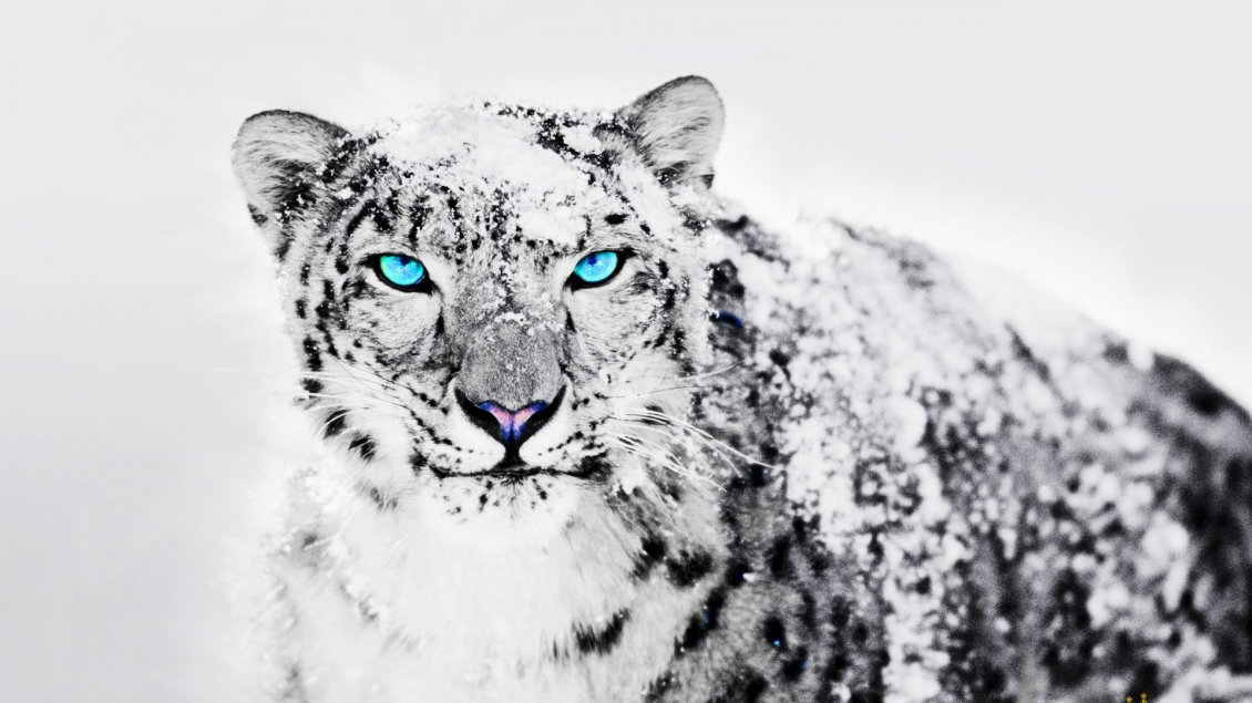 Wonderful blue eyes for a Siberian tiger
