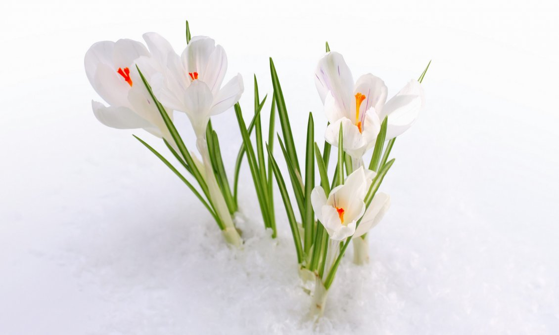 Download Wallpaper White flowers in the snow- HD spring wallpaper