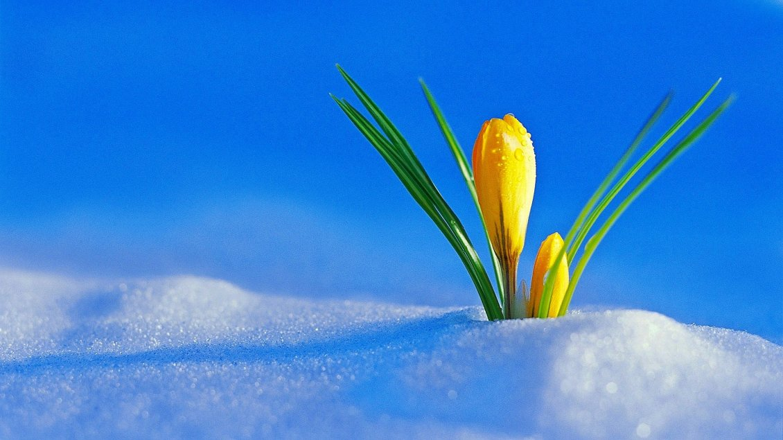 Download Wallpaper Yellow flowers under the cold snow -Winter and spring season