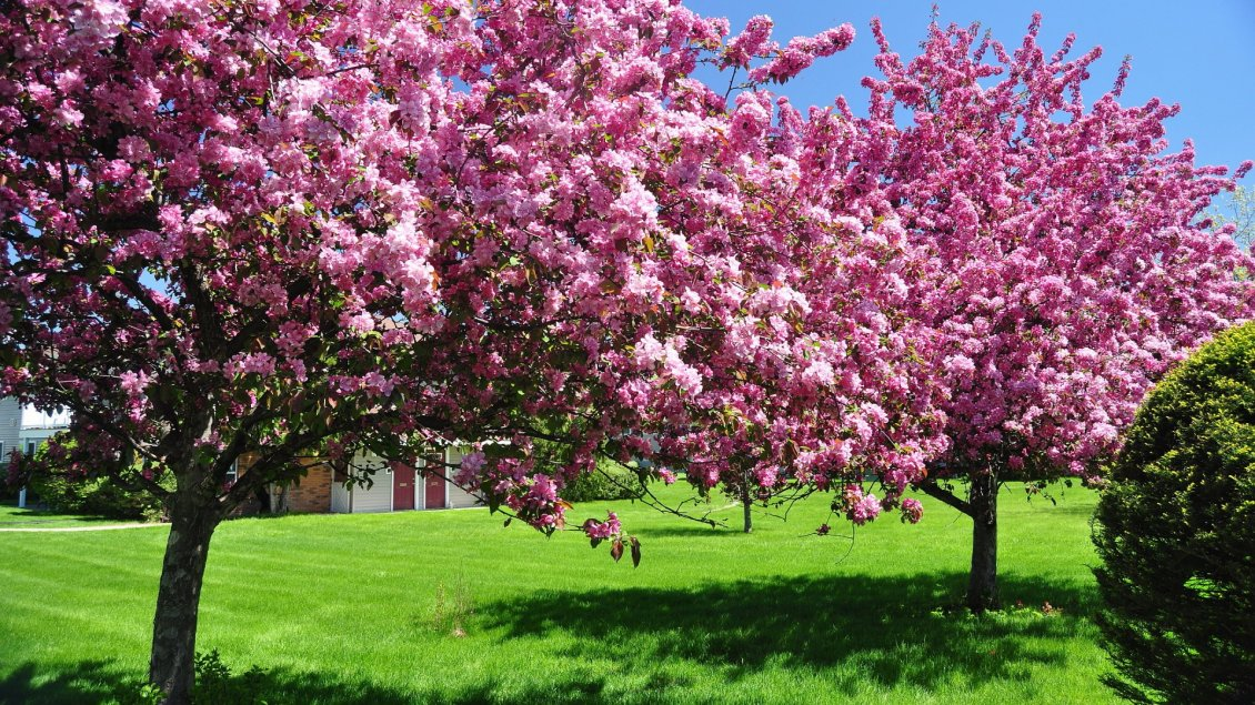 Download Wallpaper Blossom trees in the garden - Spring season HD