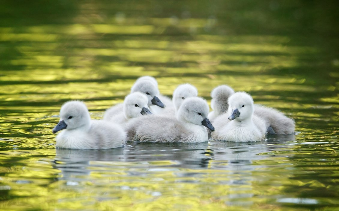 Download Wallpaper Little ducks on the lake - Wonderful baby animals