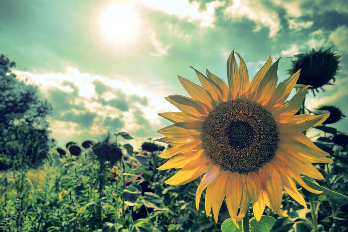 Download Wallpaper Smile sunflower - Wonderful field in the sun