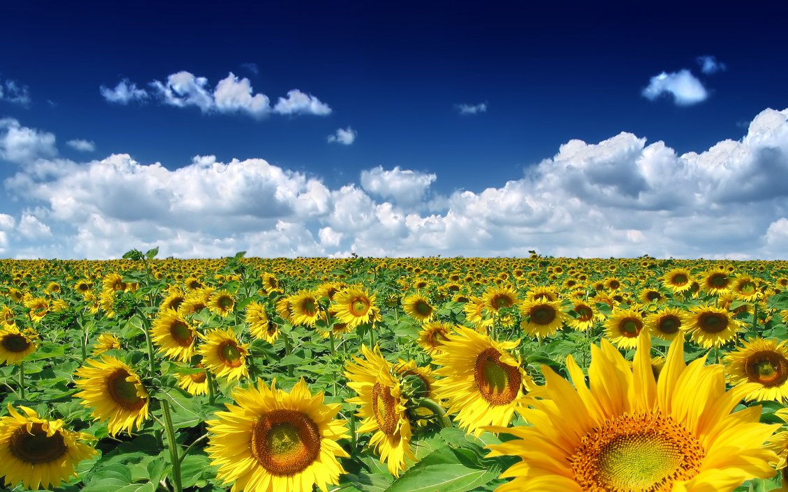 Download Wallpaper Golden Sunflower field in a summer hot day