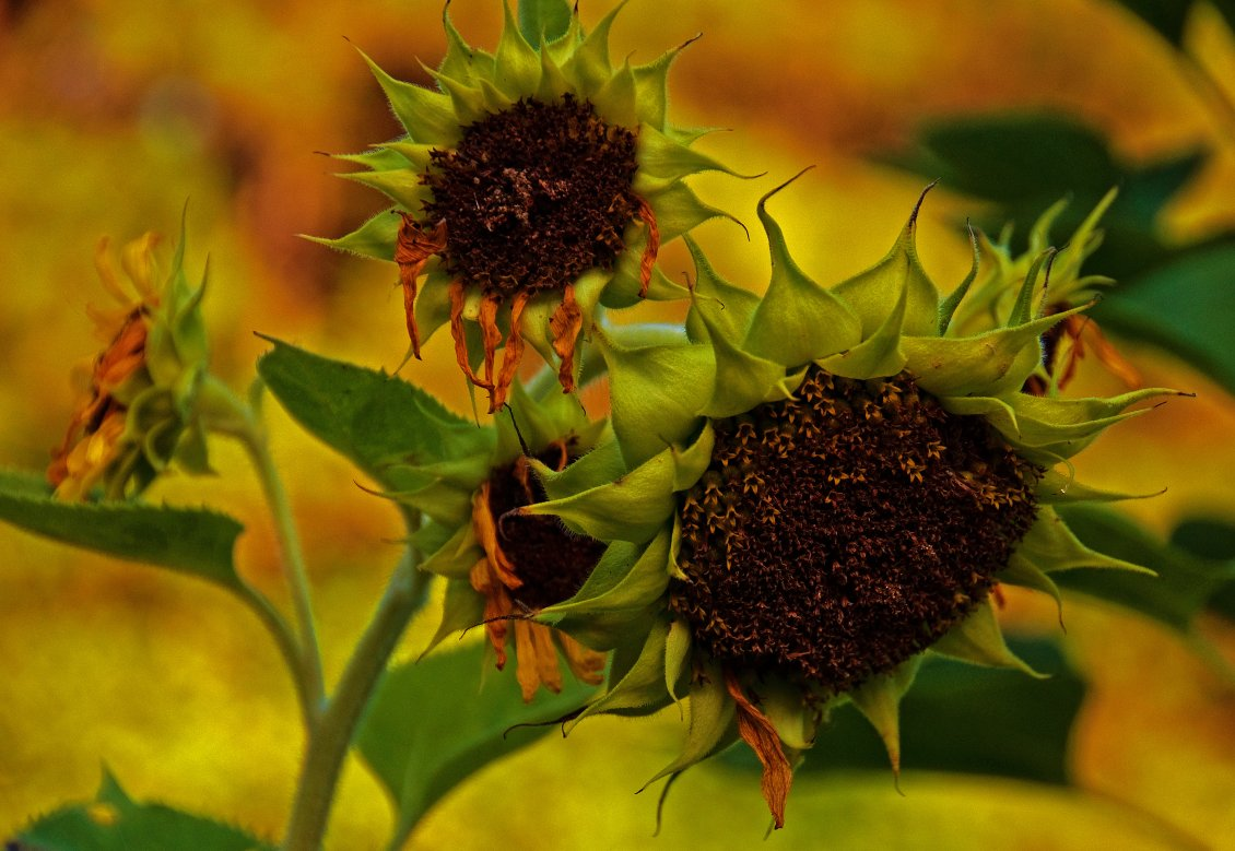 Download Wallpaper Macro old sunflower stay in the sun - HD wallpaper