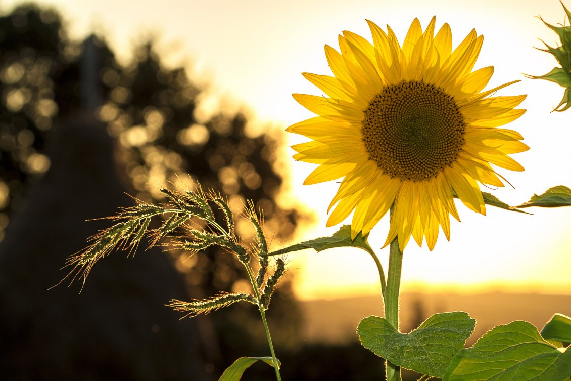 Download Wallpaper One single sunflower in the sunset light - HD wallpaper