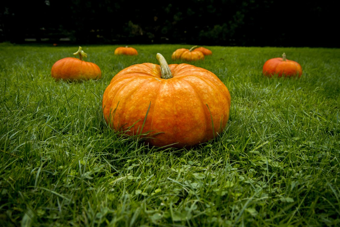 Download Wallpaper Big pumpkins on the green grass - HD wallpaper
