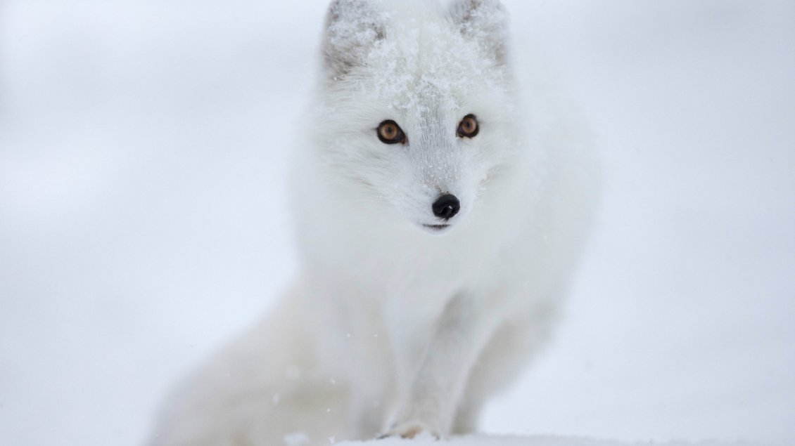 Download Wallpaper White fox in the snow - HD wild animal wallpaper